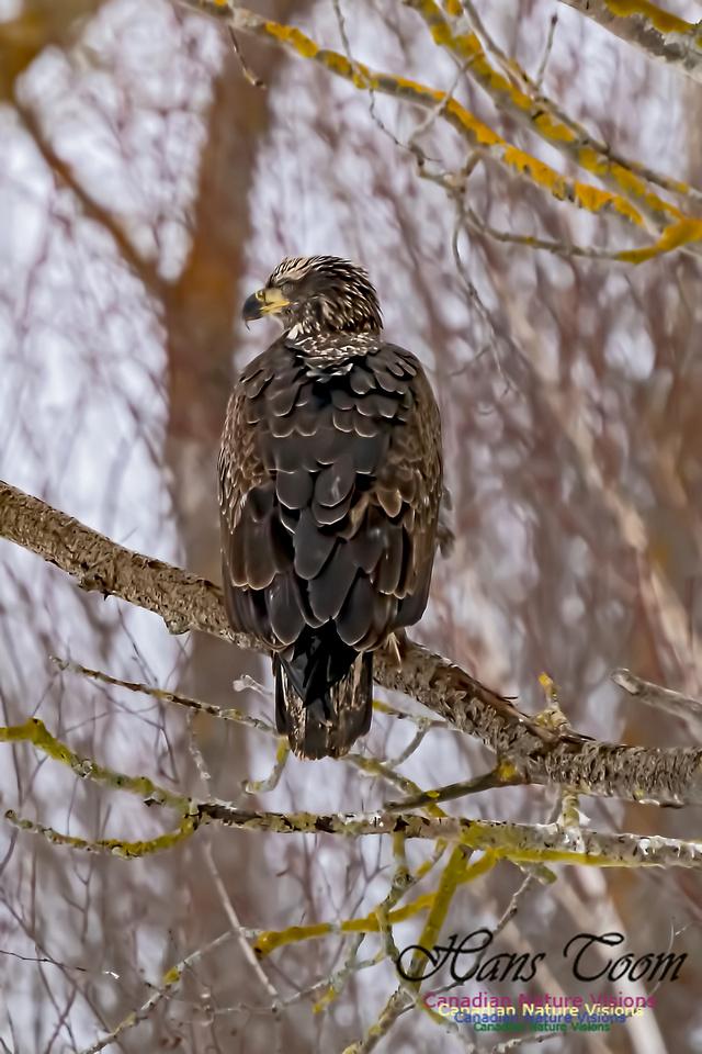Bald Eagle 107