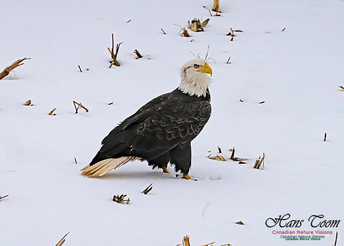 Bald Eagle 103