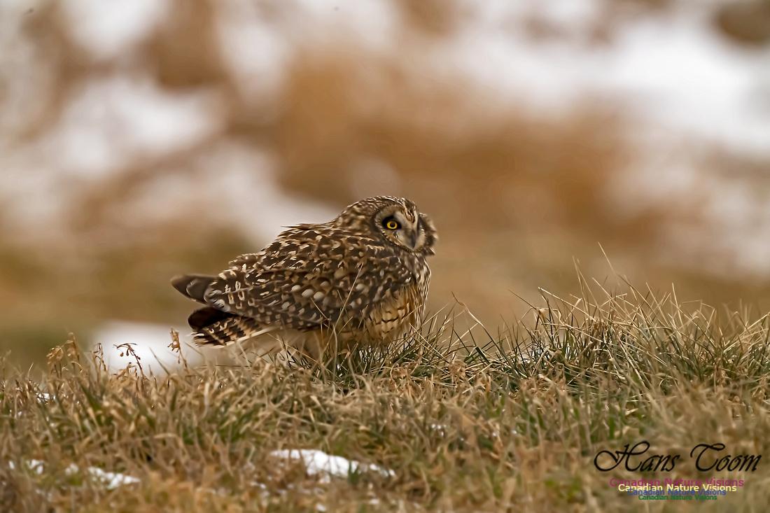 Short-eared Owl 102