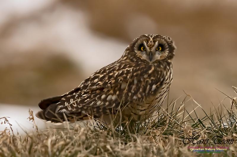 Short-eared Owl 101
