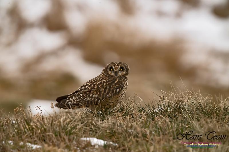 Short-eared Owl 100