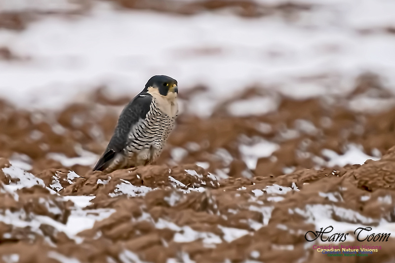 Peregrine Falcon (Peales's or Pacific) 102