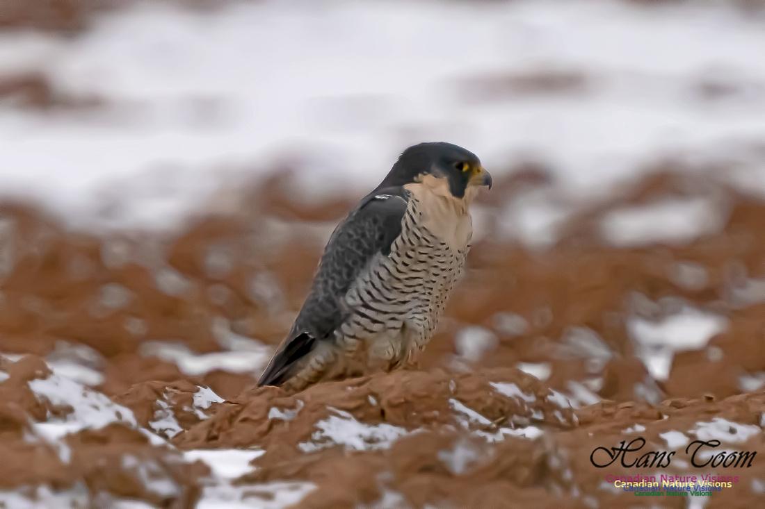 Peregrine Falcon (Peales's or Pacific) 100