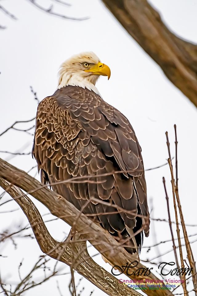 Bald Eagle 201