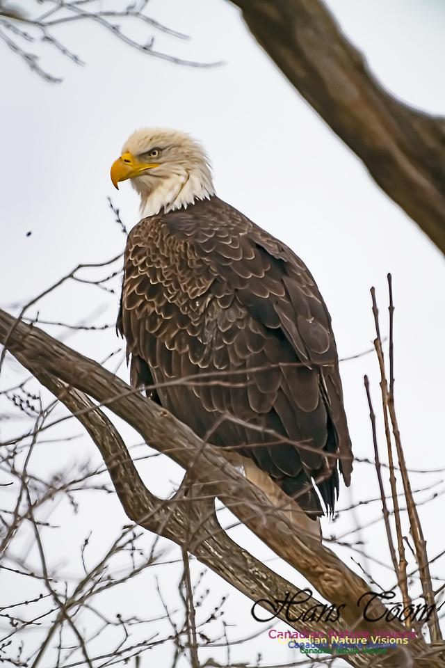 Bald Eagle 200