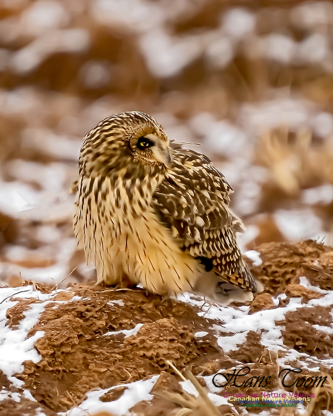 Short-eared Owl 103