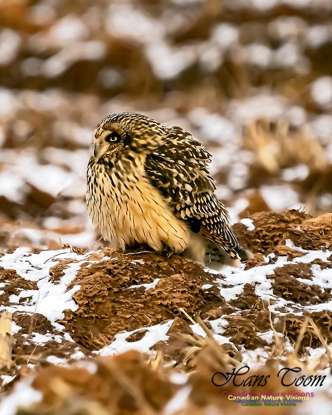 Short-eared Owl 104