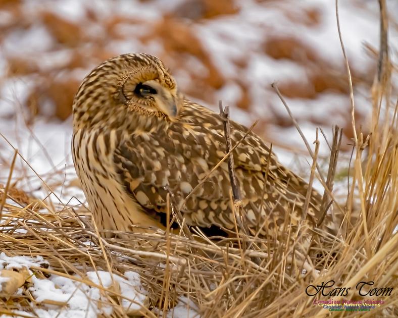 Short-eared Owl 105