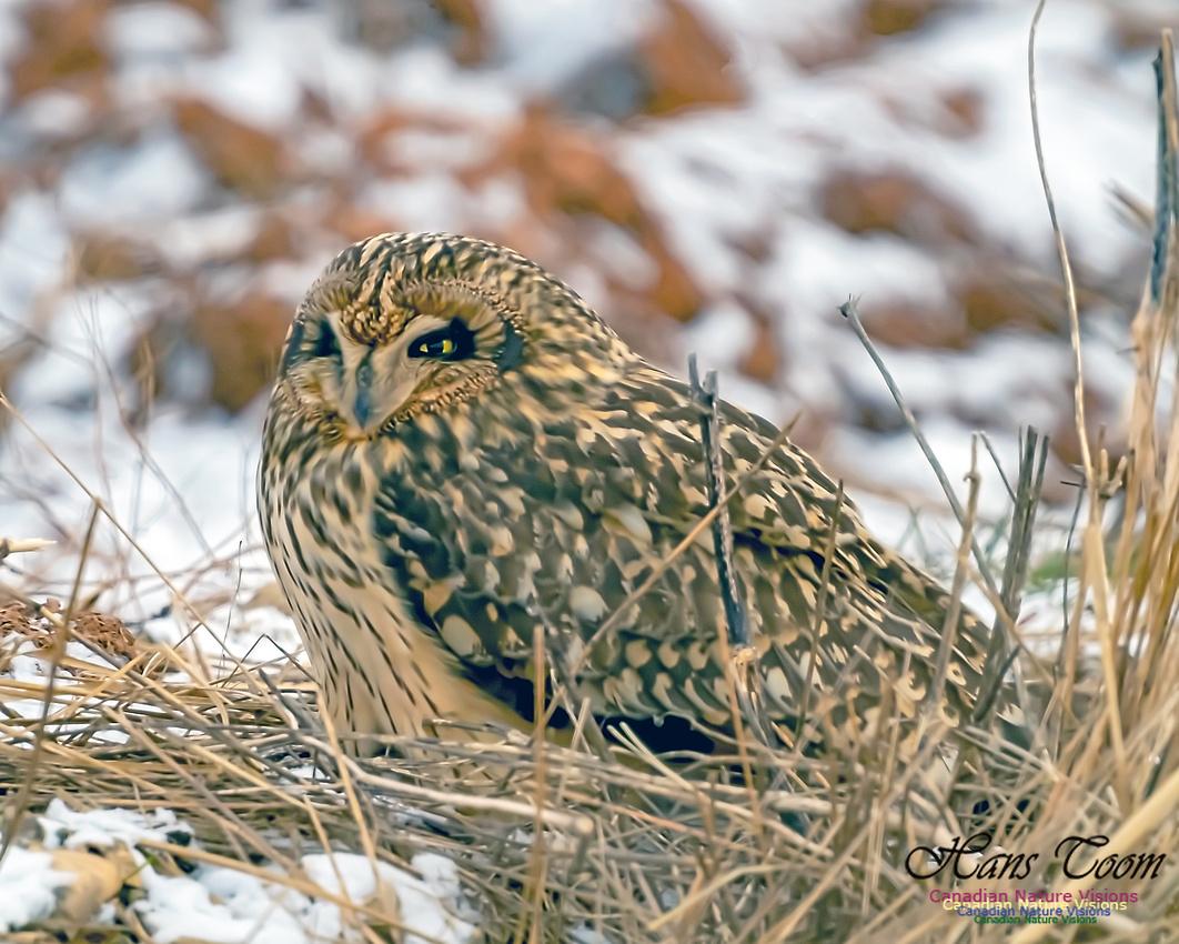 Short-eared Owl 106