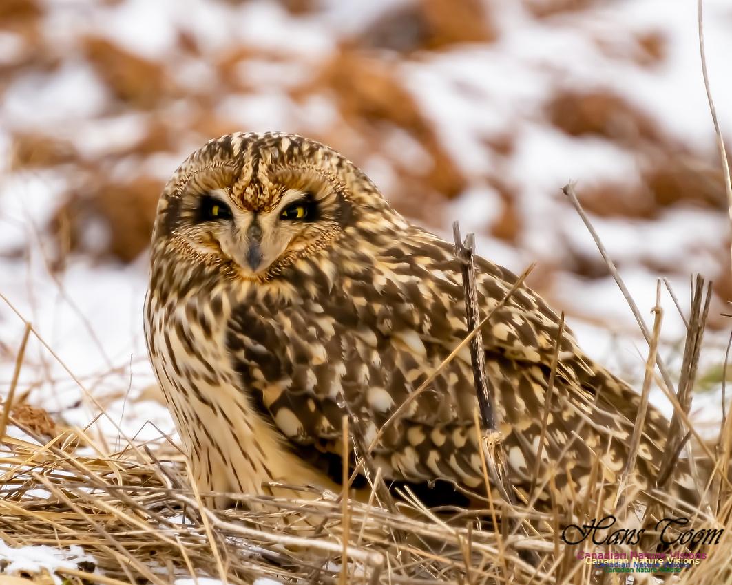 Short-eared Owl 107