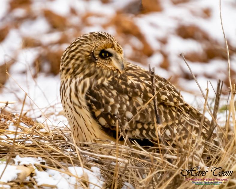 Short-eared Owl 108