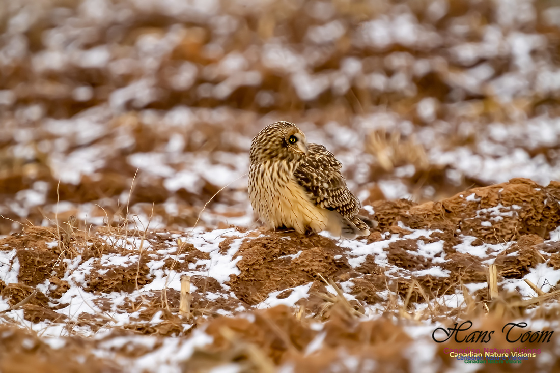 Short-eared Owl 109