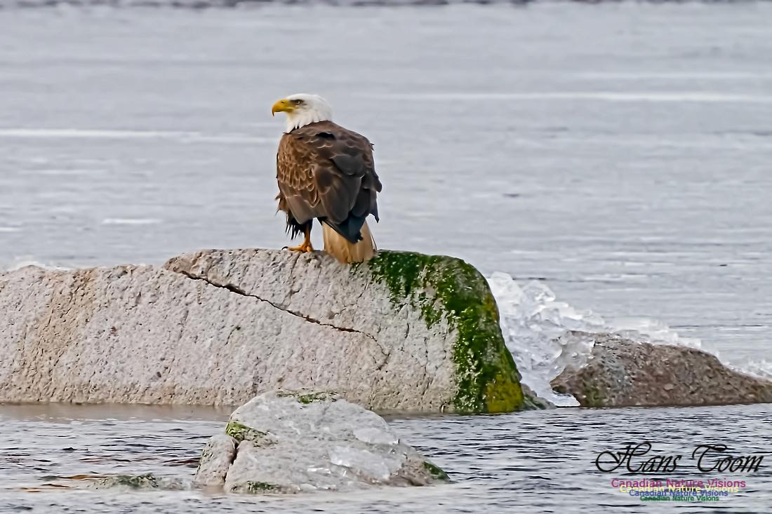 Bald Eagle 101
