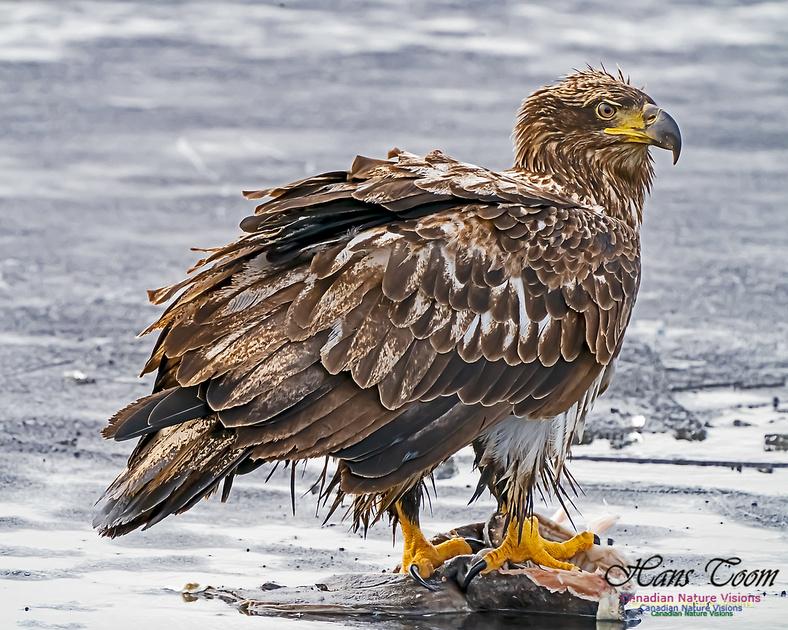 Bald Eagle 102