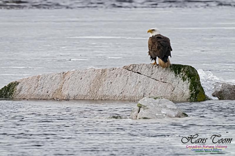 Bald Eagle 100