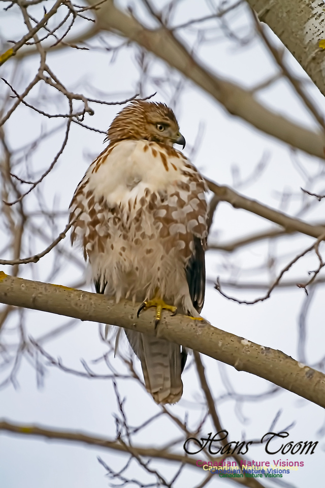 Red-tailed Hawk 100