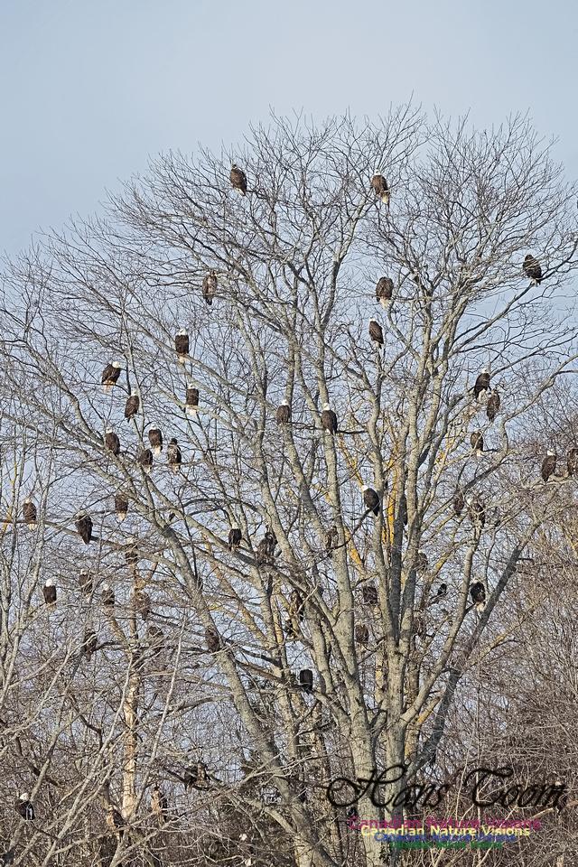Bald Eagles 302