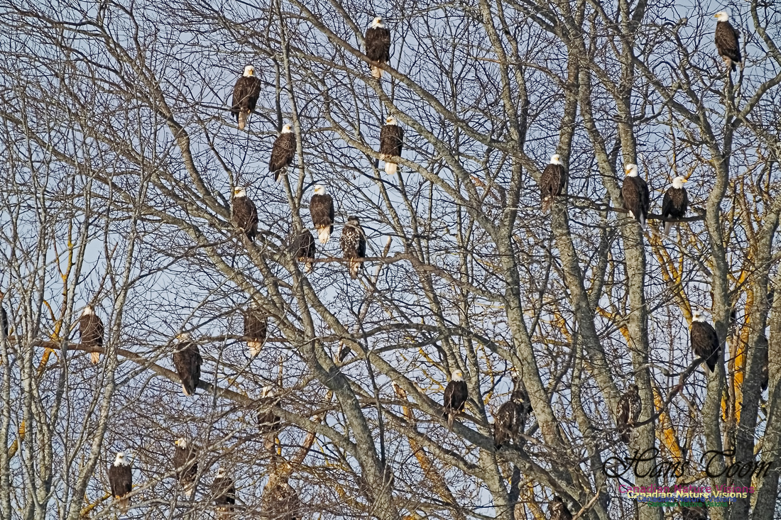 Bald Eagles 304