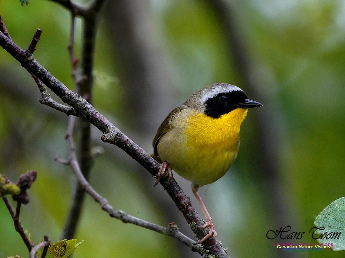 Common Yellowthroat 400