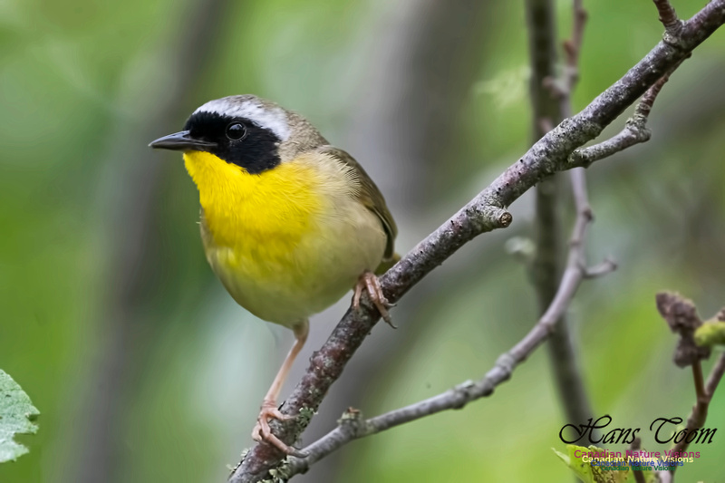 Common Yellowthroat 1002