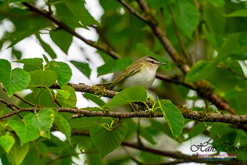 Red-eyed Vireo 1000