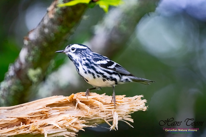 Black-and-White Warbler 1000