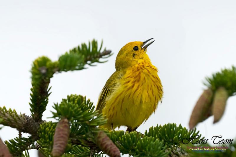 Yellow Warbler 1003