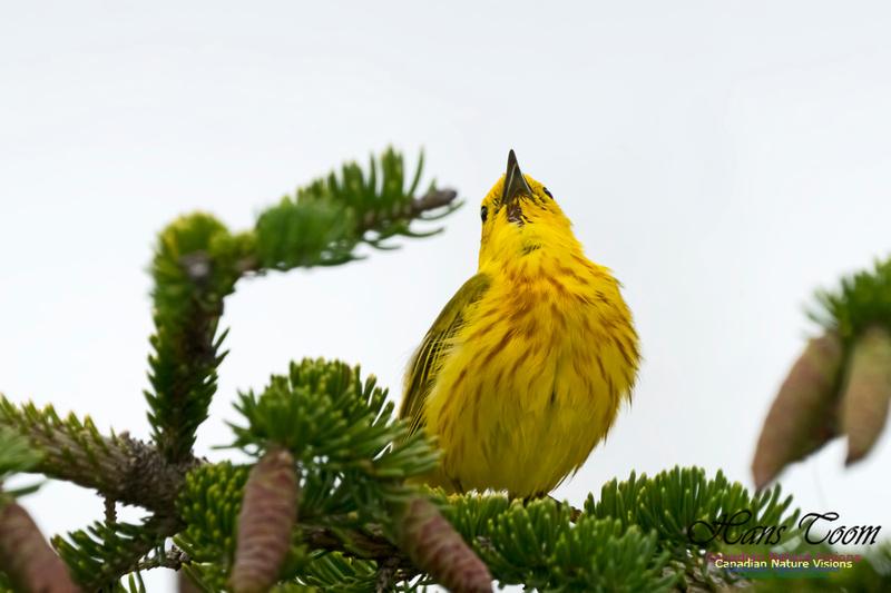 Yellow Warbler 1002