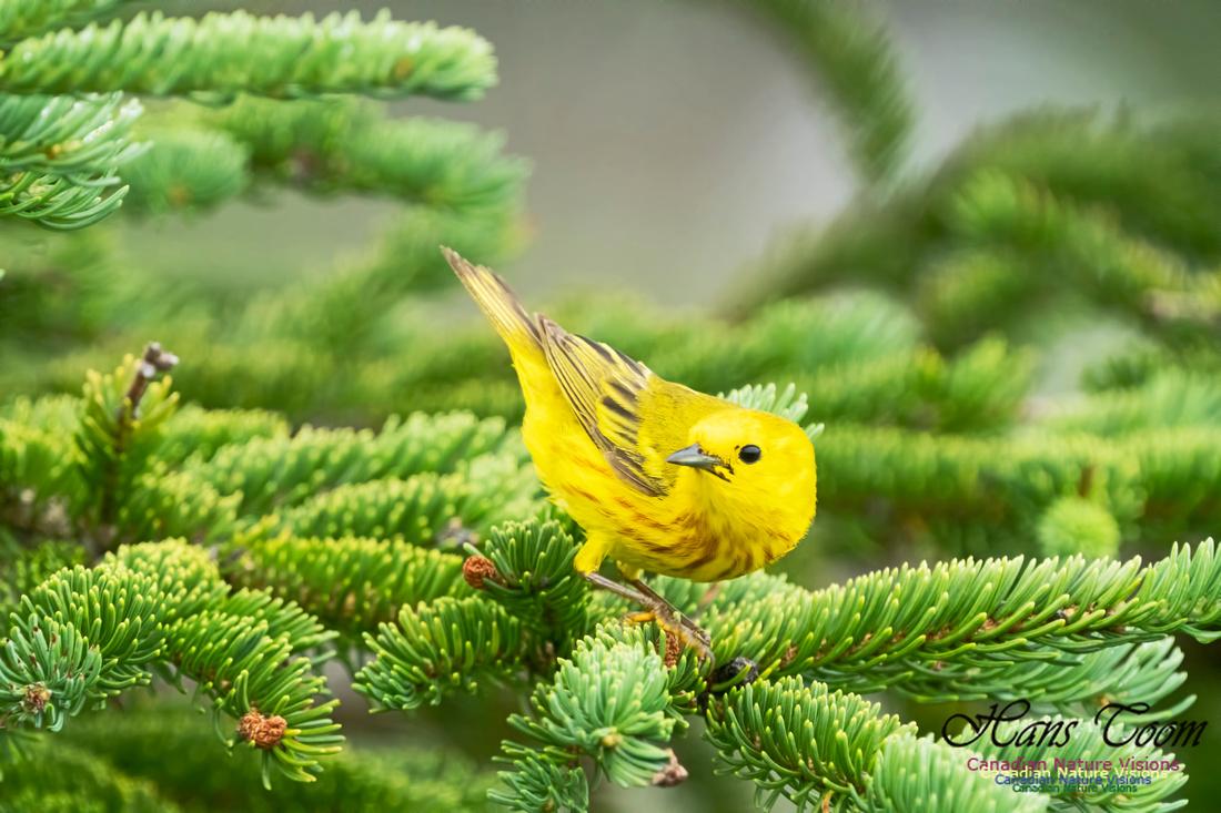 Yellow Warbler 1000