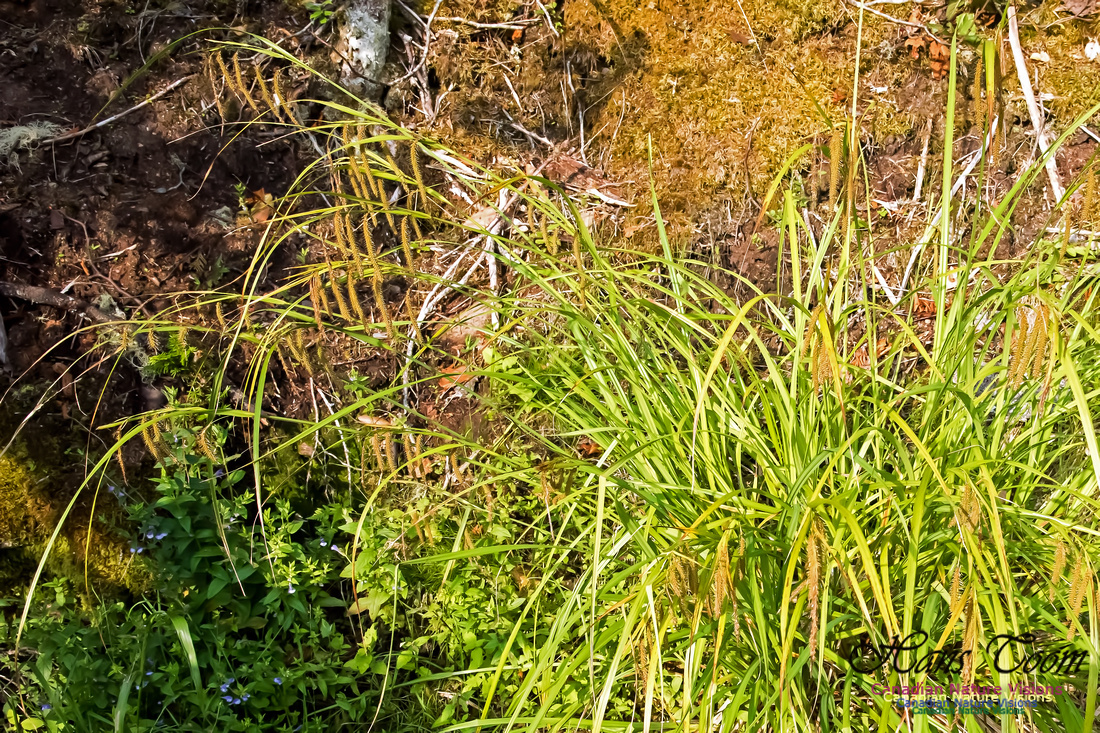 Sedge, possibly Carex sp.