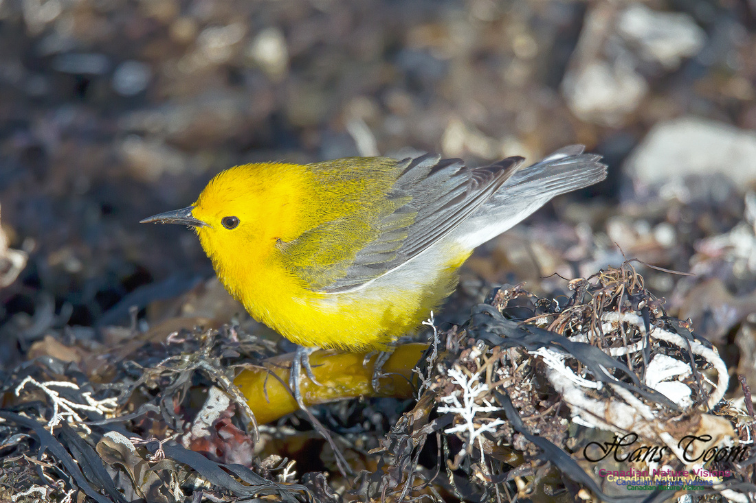 Prothonotary Warbler 9