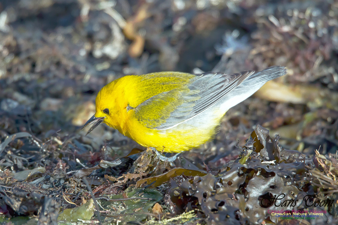 Prothonotary Warbler 12