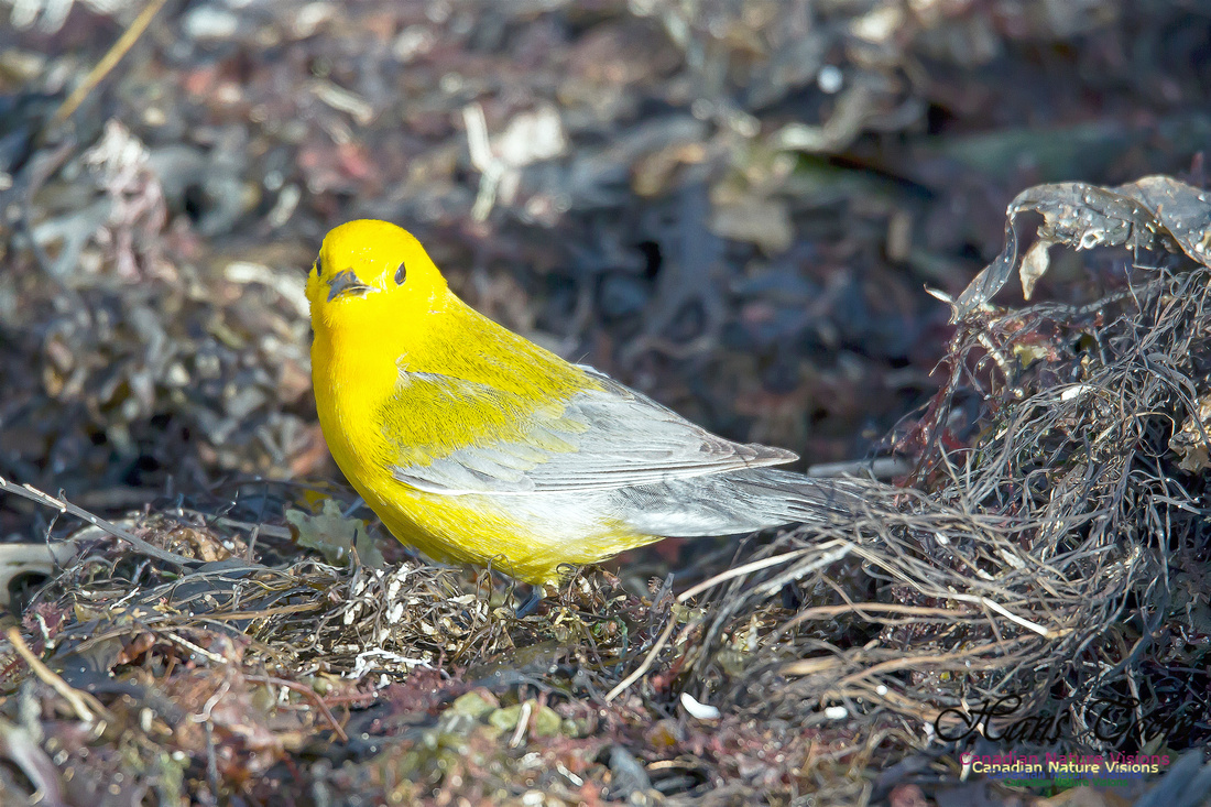 Prothonotary Warbler 13