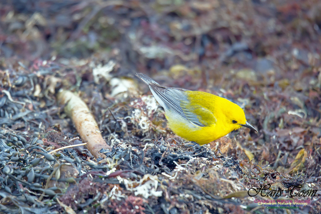 Prothonotary Warbler 14