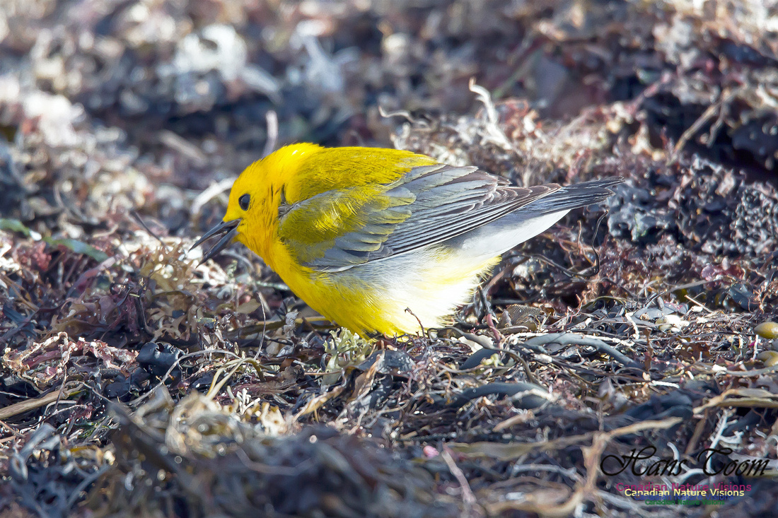 Prothonotary Warbler 15