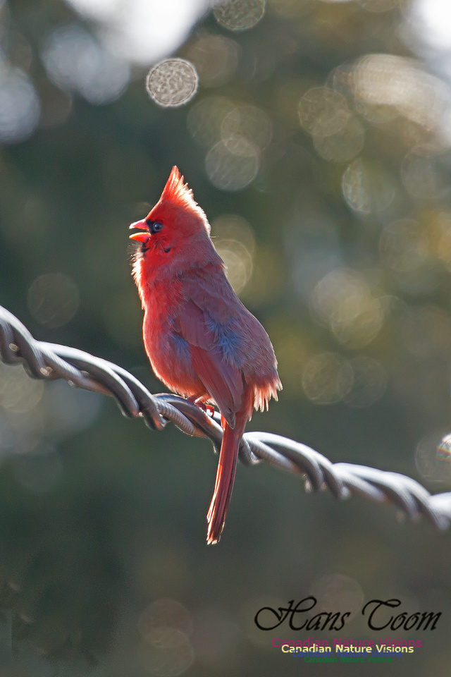 Cardinal in the Morning 1000