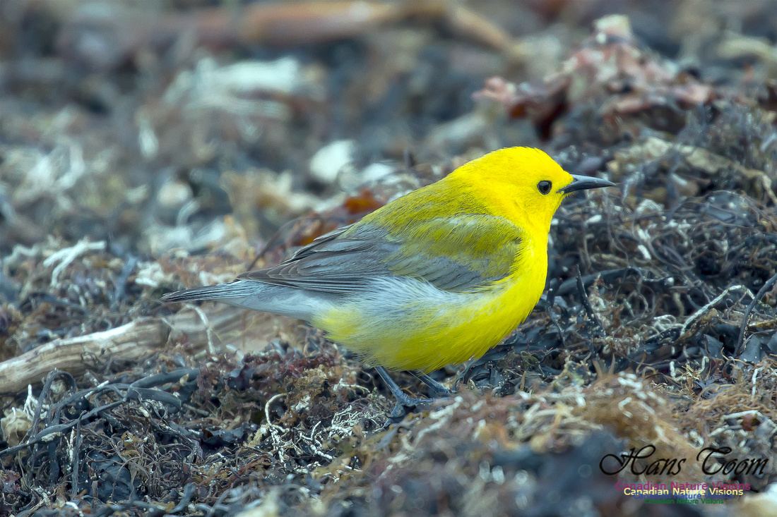 Prothonotary Warbler 24