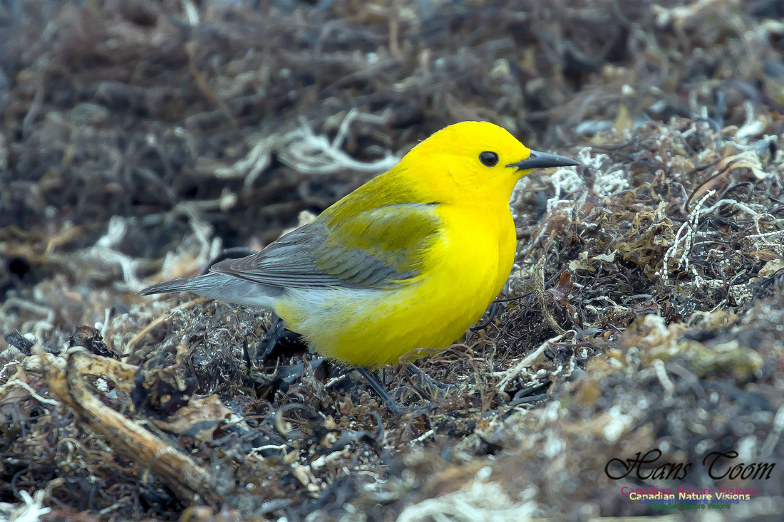 Prothonorary Warbler 30
