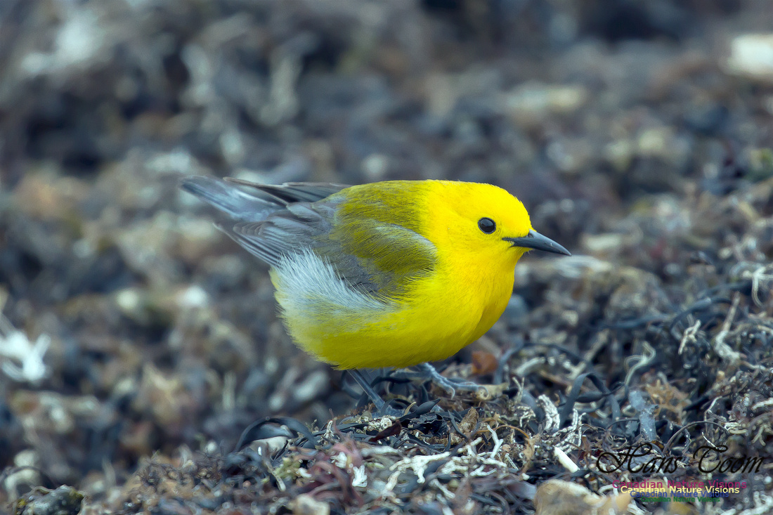 Prothonotary  Warbler 22