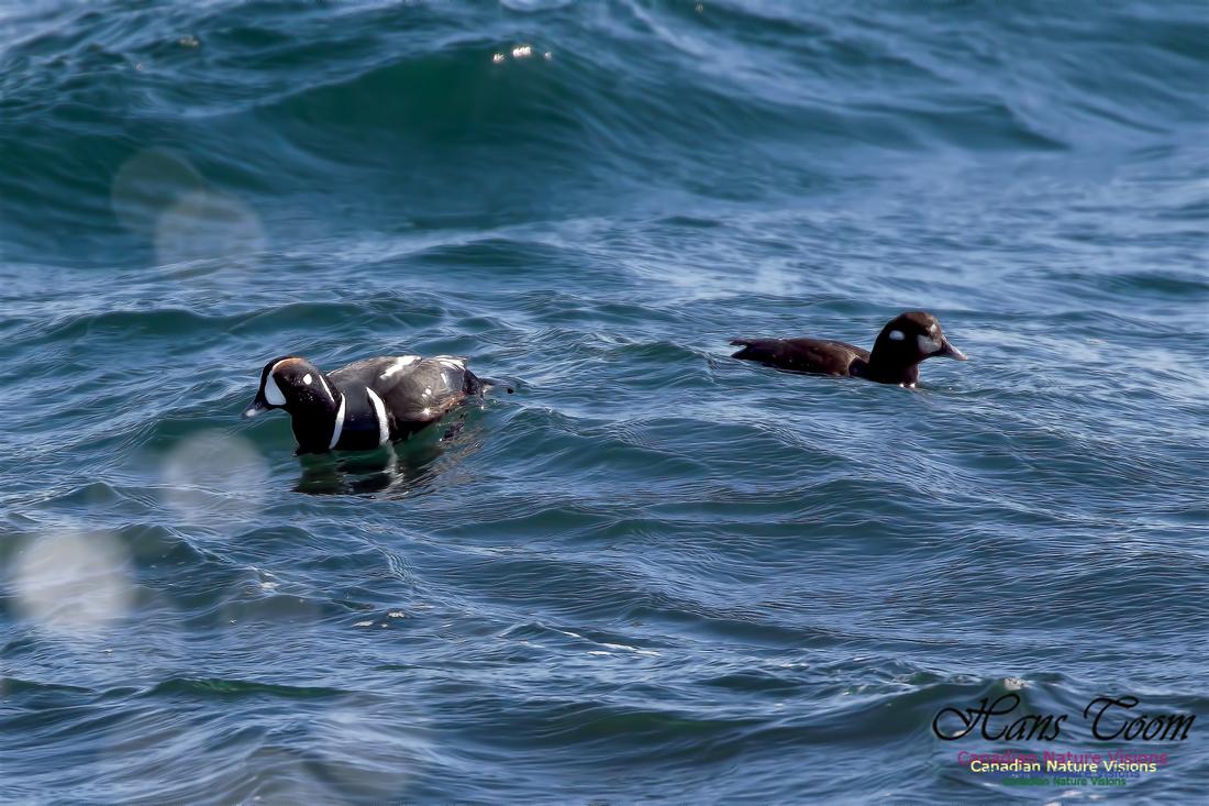 Harlequin Duck 1
