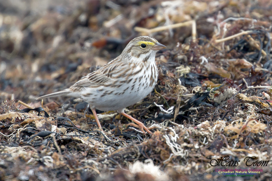 Ipswich Sparrow 3