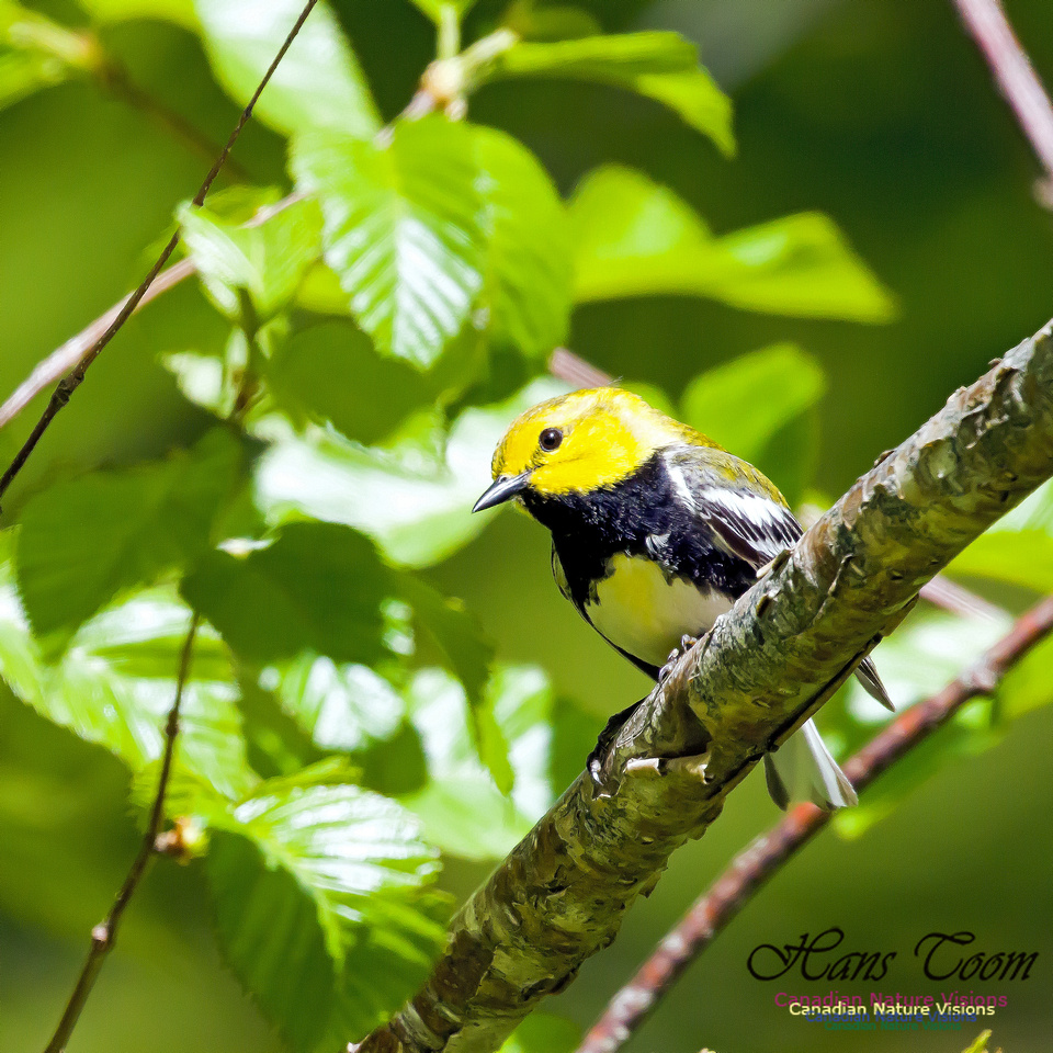 Black-throated Green Warbler 2