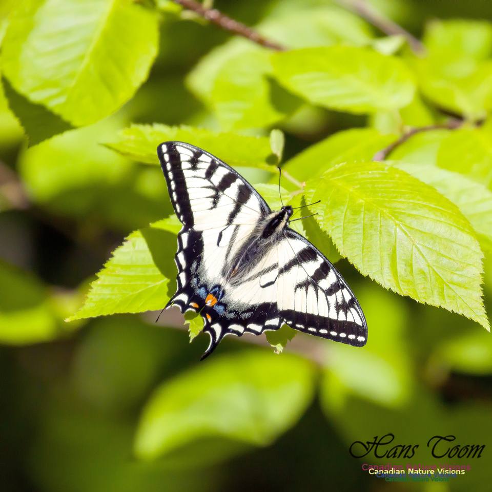Canadian Tiger Swallowtail 3