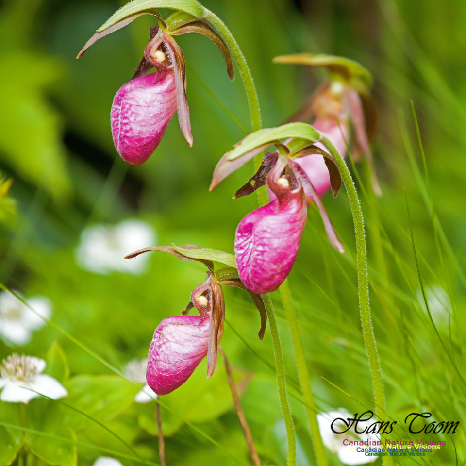 Pink Ladies Slipper Orchid 2