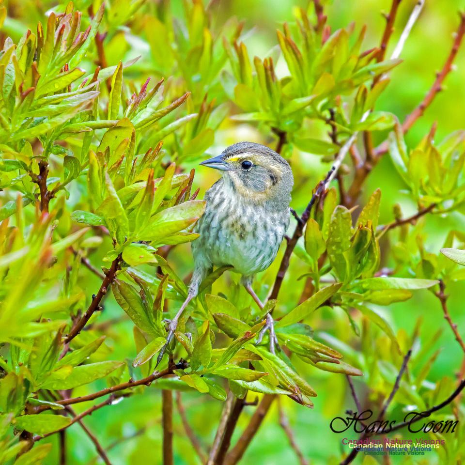 Nelson's Sparrow 4