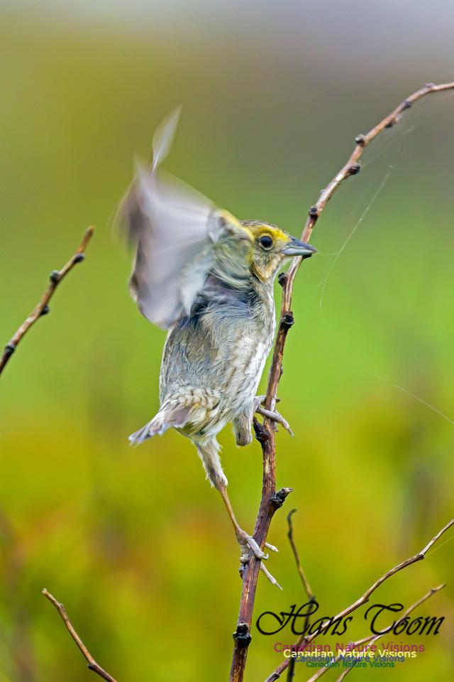 Nelson's Sparrow 5