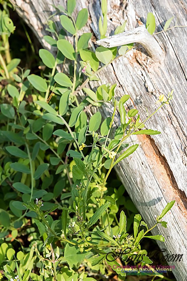 Beach Pea and Sea Rocket-Cakile edentuala, a Brassicaceae