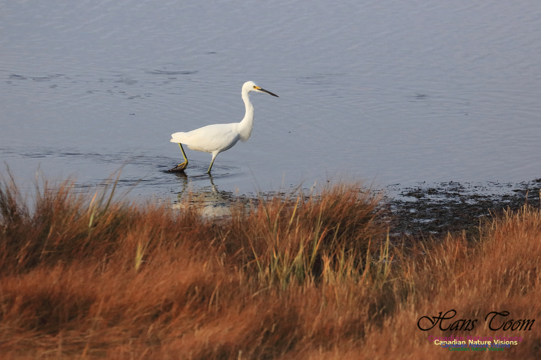 Snowy Egret 1006