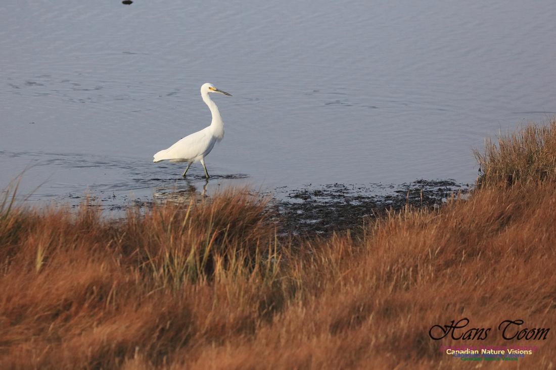 Snowy Egret 1009