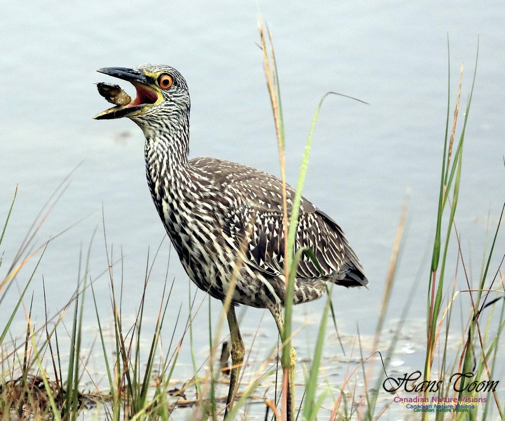 Yellow-crowned Night Heron Eating 1024
